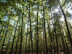 Notre magnifique forêt de Tronçais - parquet-chene-massif.com