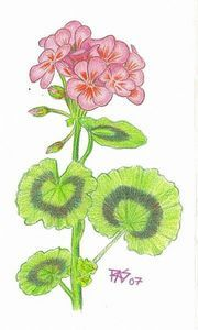 How to Draw a Geranium in Colored Pencils thumbnail