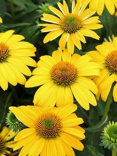Can't imagine a sunny perennial border without the Echinacea flower? Shop Bluestone Perennials for Echinacea perennial plants today. Cut Flowers, Yellow Flowers, Colorful Flowers, Single Flowers, Beautiful Flowers, Yellow Perennials, Flowers Perennials, Drought Resistant Plants, Yellow Plants