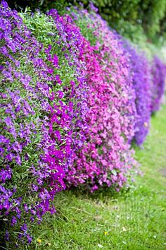 aubretia, one of my favorite spring plants--Ristikki Purple Flowers, Beautiful Flowers, Beautiful Wall, Belle Plante, Spring Plants, My Secret Garden, Dream Garden, Beautiful Gardens, Amazing Gardens