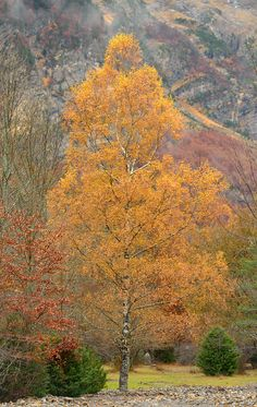 Árbol caducifolio: abedul Woodland Art, Autumn Leaves, Chile, Exotic, Country Roads, Exterior, Earth, Landscape, Patagonia