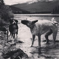 Shaking off her loss #tundradog #willydog #dogsofinstagram #coloradodogs #bordercollie #aussie #gsd #greatpyrenees #dillonreservoir #frisco #colorado #coloradical #coloradolife #mountainzen #mountainliving #mountaindogs #bw #bwphotos #blackandwhite