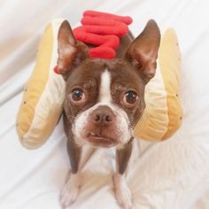 Things we all like about the Small Boston Terrier Puppies Boston Terrier Temperament, Brindle Boston Terrier, Boston Terrier Love, Boston Terriers, Terrier Breeds, Terrier Puppies, English Terrier, American Bull, Pet Care Tips