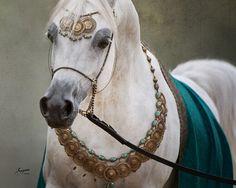 Kamal Ibn Adeed (Al Adeed Al Shaqab x NF Bint Sahja), 3-Time Egyptian Event Champion Colt. Sired by a World Champion Stallion and out of an Ansata Hejazi daughter, Kamal Ibn Adeed is bred to produce!