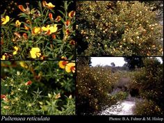 Pultenaea reticulata Size Colour yellow Flowers August – November Best seasons Spring, Winter Description Erect dense shrub to high. Occurs around winter wet depressions. Yellow/orange pea flowers winter to spring.