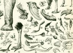 1897 Les différents types de Pattes. Zoologie. Histoire Naturelle.  Illustration Ancienne Planche Originale Larousse  115 YEARS OLD de la boutique sofrenchvintage sur Etsy
