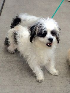 Rascal is a male, 12-pound, 5-year-old Shih Tzu mix who came from a very full Central Valley shelter. He gets along well with other dogs and is very social. The $250 adoption fee helps cover spay/neuter, vaccinations, microchip, vetting, food/care and 30 days of health insurance. Call Pets Without Partners at 243-6911. Go to www.petswithoutpartners.org. Go to www.redding.com for more adoptable pets.