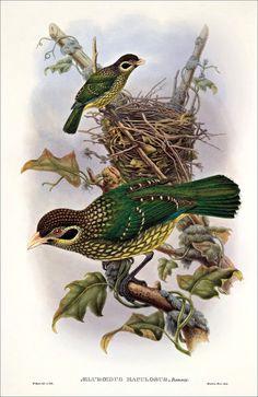 Birds of paradise 6