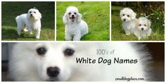Best White Dog Names for your new white puppy White Puppies, White Dogs, Puppy Names, Dog Names, White Names, New Puppy, Animals, Animais, Animales
