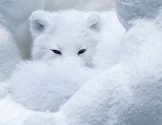 Barry Kidd Photography Snow Photography of an arctic fox- Post Processing in Lab Color Adobe Photoshop Video