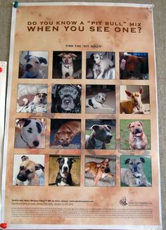 This poster is hanging in Dogtown Headquarters.  Can you identify which of these dogs is a pit bull?  Studies show that even most shelter personnel cannot, which is what makes breed specific legislation banning pit bulls so ludicrous.  Larger poster found here: http://www.ringdogrescue.org/images/find_the_pit_bull_mixv2.pdf