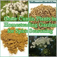 How to Grow Cumin Plants in Homesteading Garden for Spice Seasoning is a great addition to any family garden that is working towards self sufficiency. Cumin Plant, Raised Garden Beds, Raised Bed, Spice Garden, Homestead Gardens, Herbs For Health, Veggie Patch, Family Garden, Small Farm