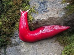 """The giant pink slug (Triboniophorus aff. graeffei) can reach a whopping 7.8 inches in length. """"These slugs spend most of their time buried beneath the leaf mold on which they feed, but...they're known to come out in the hundreds by night or after a rain shower to snack on tree moss. """"#Pink_Slug #Australia"""