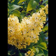 Syringa vulgaris Primrose - Rare Yellow Lilac Bush