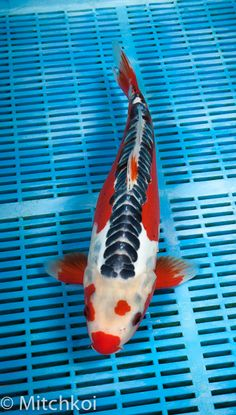 A breathtaking Hana Shusui. This Koi has a wonderful pattern, with fiery red underbelly and flanks, pastel blue base and perfectly rowed slate blue plated zip linear scales along the dorsal line. You cannot fail to be impressed by the majesty and class of this Koi, that will look amazing as the focal point of your collection. Size: 38cm (15
