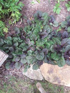 Black Scallop Aguga... Purple Perennials, My Flower, Flowers, Garden Design, Vegetables, Plants, Black, Black People, Vegetable Recipes