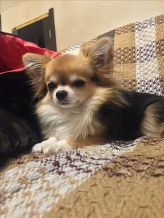 The dog matches the blanket. Cute Chihuahua, Chihuahua Puppies, Dogs And Puppies, Pomeranians, Chihuahuas, Super Cute Puppies, Cute Dogs, Animals And Pets, Dog Cat