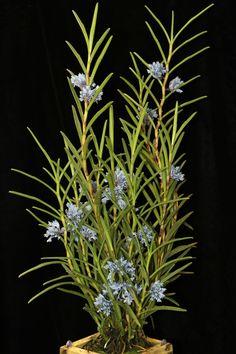 Cleisocentron gokusingii 'Best Blue'