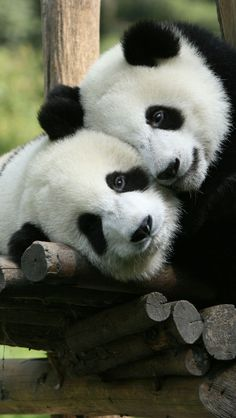 Panda Cuddle iPhone 5 wallpapers, backgrounds. Adorable!