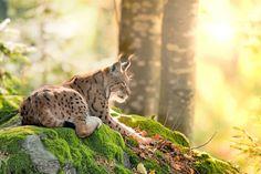 #Lynx at the #Ferleiten Wildlife & Amusement Park, SalzburgerLand