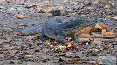 Waran beim Mittagessen - Check more at https://www.miles-around.de/asien/malaysia/insel-hopping-tour-im-tunku-abdul-rahman-nationalpark/,  #Borneo #Dschungel #KotaKinabalu #Malaysia #Nationalpark #Natur #Reisebericht