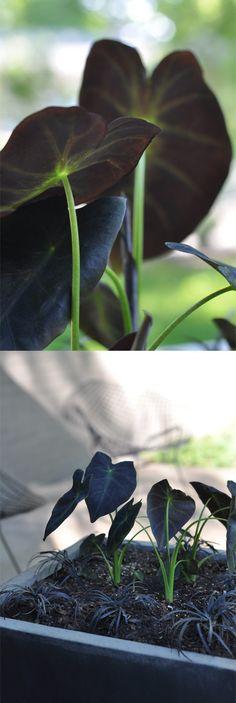 Colocasia antiquorum 'Black Beauty'