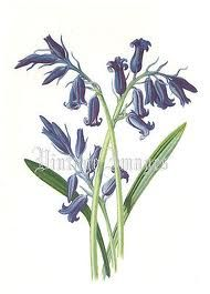 bluebell drawing