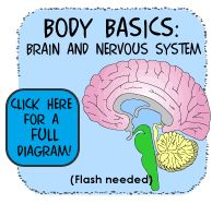 Learn about the different parts of the brain and how they work in the body.