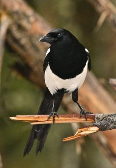 The magpie is considered one of the most intelligent animals in the world and one of the only birds that can recognize itself in a mirror. Pie Bavarde, Jackdaw, Anime Girls, Animal Projects, Woodland Creatures, Little Birds, Birds Of Prey, Animals Of The World, Bird Watching