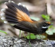Black-and-Cinnamon Fantail - endemic to Philippines