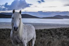 Highland Pony at Luskentyre Beach, Scotland