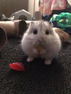 This little guy just got fresh strawberry and corn for a snack! : hamsters