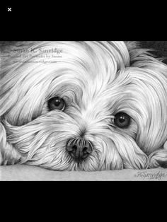 Animal Paintings, Animal Drawings, Border Collie Art, Scratchboard Art, Flower Painting Canvas, Cute Baby Dogs, Art Drawings Sketches Simple, Woodburning, Lucca