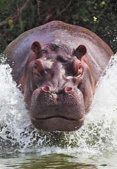 Hippo ( kills more tourists on safari's that go wrong, than ANY other animal !! ) = They are quicker on land than People think ( animal tanks !! ) and are really fast on water ( they are also called water horses for a very good reason !!! ) their teeth are gargantuan and although herbivores preferring veg to meat / they kill as feel threatened when guarding their young ( so be careful near them on safari !! ) ☑️