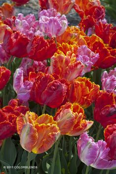 """A photograph of the the spring flowering Tulip Bulbs cultivar """"Parrot Blend"""""""