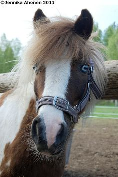 V.K. Justiina - Shetland Pony mare