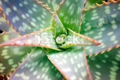 Spotted Aloe Cactus in Full Frame Royalty Free Stock Photo