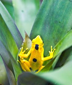 La Rana Dorada (The golden frog ), El Valle de Anton, Panama. http://internationalliving.com/countries/panama/