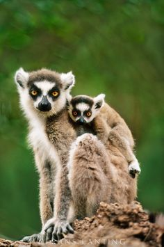 #photographer : Frans Lanting - Ring-tailed lemur with young, Lemur catta, Berenty Reserve, Madagascar