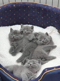Waking up to a snack. Waking up to a snack. Kittens And Puppies, Cute Cats And Kittens, I Love Cats, Cool Cats, Kittens Cutest, Beautiful Cats, Animals Beautiful, Grey Cats, Blue Cats