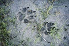 Wolf tracks in the mud Stock Photo
