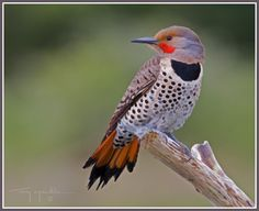Northern Flicker ( I guess because we are in what they consider North Georgia?)