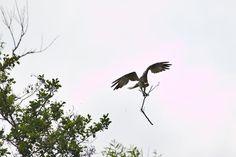 Fischadler an der Peene