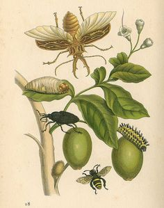 Insects on Olive Tree by Maria Sibylla Merian taken from 'Das kleine Buch der Tropenwunder. Image and text courtesy NYPL. Botanical Drawings, Botanical Prints, Sibylla Merian, Tree Id, Tree Sketches, Insect Art, Nature Illustration, Olive Tree, Nature Prints