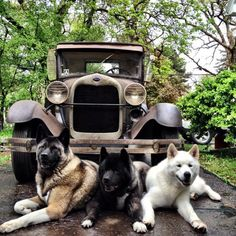 Blind Dog Has Two Seeing Eye Dogs to Guide Her   Halo   Click to read and share this beautiful story of Kiaya, a blind, 10-year-old Akita, and her two best pals, Cass and Keller, who really help her out! Her owner says the dogs are an inspiration to everyone who meets them.