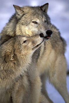 lobos maravilhos