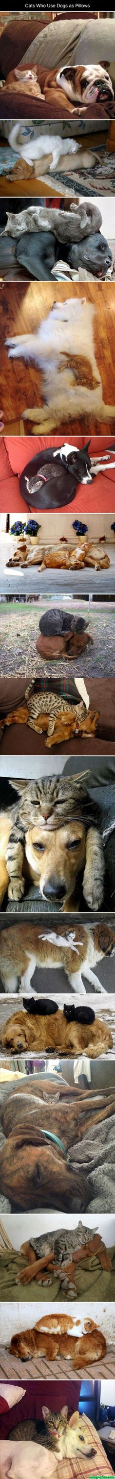 Cats Use Dogs As Pillows