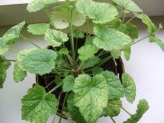 Tolmiea menziesii – Mor og Barn. En 2 i 1 plante. Lav småplanter af Tolmiea sent efterår og tag dem ind i stuen. Hvis den står skyggefuld bliver den flot og frodig, og i det tidlige forår kan den plantes ud i haven under træer eller buske, som bundække. Den kan formeres ved deling, eller ved at stikke bladestilken med 'småbørn' i pottemuld. Den lille plante holdes fugtig, og efter kort tid har den slået rødder og du har en fin lille Tolmiea.