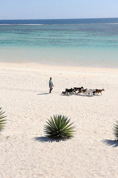 livestock on the beach, southern Madagascar. Photo: luca.gargano, via Flickr