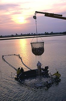 Delta Pride Catfish Farms - Mississippi Delta; Photo of dripping, cup-shaped net, approximately 6 feet (1.8 m) in diameter and equally tall, half full of fish, suspended from crane boom, with 4 workers on and around larger, ring-shaped structure in water